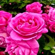 2020 pink rose